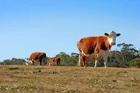 Two cows grazing, and one closer cow looking at the camera Stock Photo - 4802423