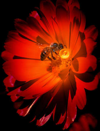 Bee on red flower photo