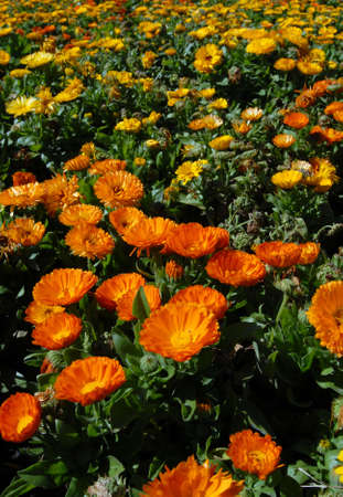 Orange and Yellow Flower Meadow. Beautiful Nature Background. Vertical picture Stock Photo - 5757710