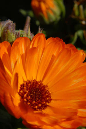 Orange flower. Macro shot. Vertical picture Stock Photo - 5757711