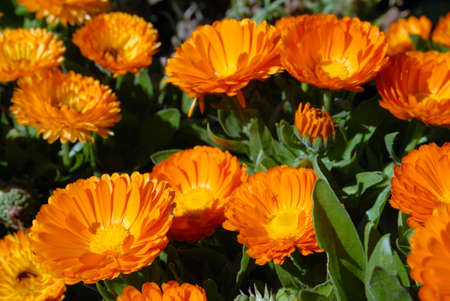 Bloomed field of orange flowers. Close-up shot. Nature background Stock Photo - 5757712
