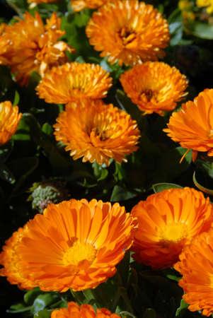 Orange Flowers Field. Close-up shot. Nature background Stock Photo - 5757715