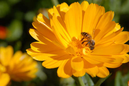 Bee on a orange flower. Close-up shot.  photo