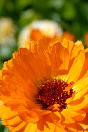 Orange flower. Closeup picture Stock Photo - 5769415