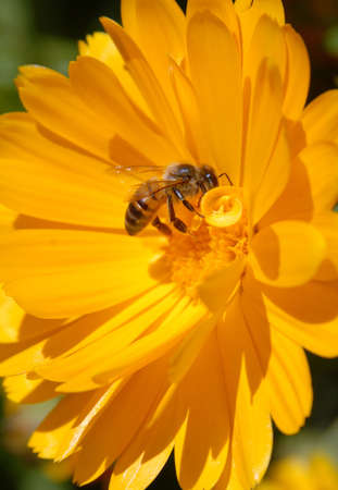 Bee on yellow flower. Close-up shot.  photo