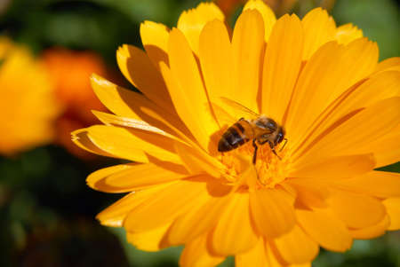 Yellow Flower and pollinating Bee. Macro shot.  photo
