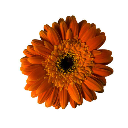 A half yellow gerbera flower isolated over white background. Included clipping path, so you can easily cut it out and place over the top of a design. photo