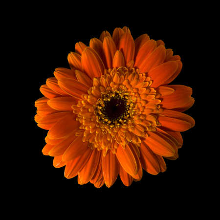A half yellow gerbera flower isolated over black background. Included clipping path, so you can easily cut it out and place over the top of a design. photo
