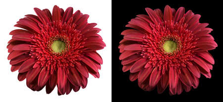 Gerbera: Burgundy flower isolated over both black and white backgrounds. Included clipping path, so you can easily cut it out and place over the top of a design.