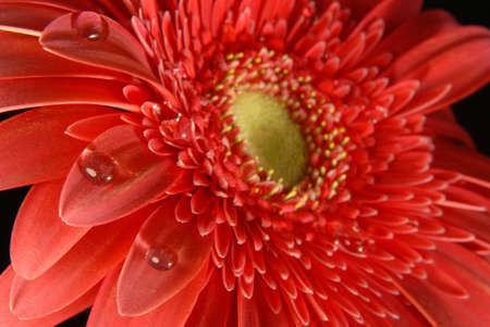 Red gerbera flower texture close up with little water drops on black background. photo