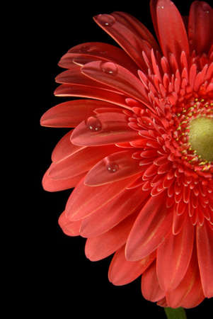 Red gerbera with little water drops on black background. photo