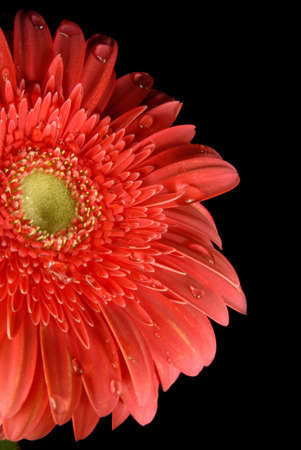 A red gerbera flower with little water drops on black background. photo