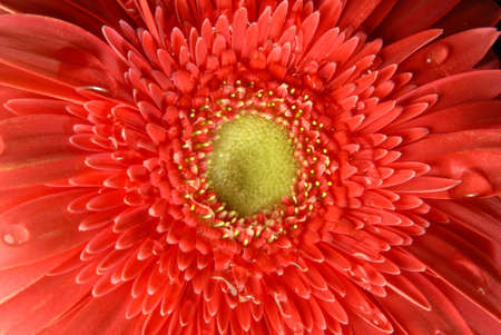 Red gerbera flower close up with little water drops on black background. photo