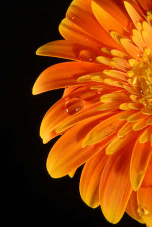 A orange gerbera flower with little water drops on black background. photo