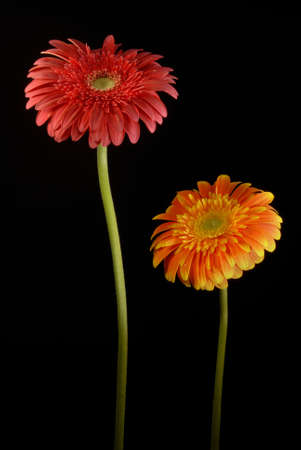 Gerbera: Red and orange gerberas flowers on black background.