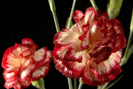 Carnation flower bouquet nuanced in red and white close up on black background. photo