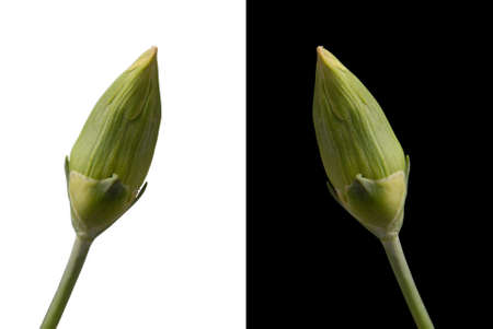 Two carnation bud flowers isolated on both black and white background respectively. Included clipping path, so you can easily cut it out and place over the top of a design. photo