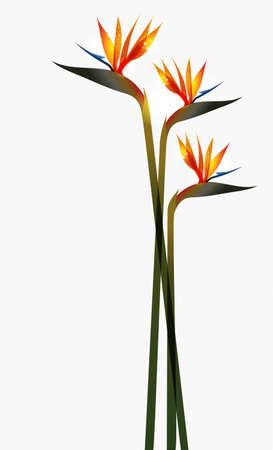 Bird of Paradise transparent Blume über weißem Hintergrund. Diese Abbildung enthält Folien und ist für einfache Handhabung und individuelle Färbung geschichtet