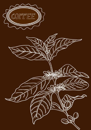 Vintage sketch style coffee plant, label text illustration.