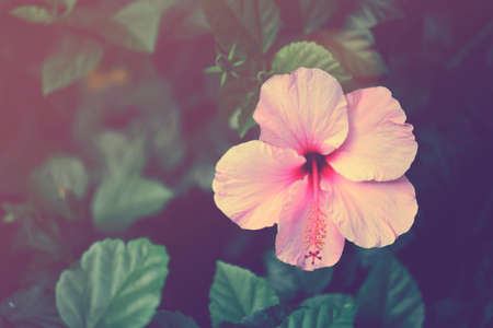 Vintage hibiscus pink flower close up. Retro soft color effect hipster picture.