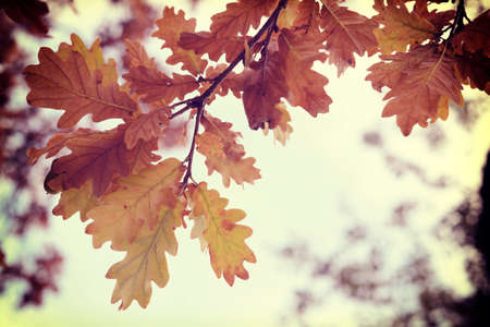 Fall season oak autumn tree leaves close up in sunset background with vintage style filter. Stock Photo