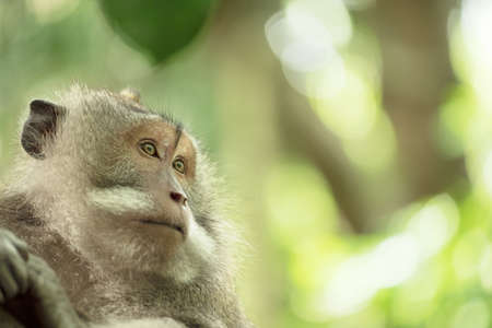 wildlife conservation: Face portrait of wild monkey in natural habitat. Wildlife conservation and animal rights campaign.