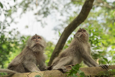 natural looking: Wild monkeys on tree looking up in natural habitat, green environment background. Wildlife scene.