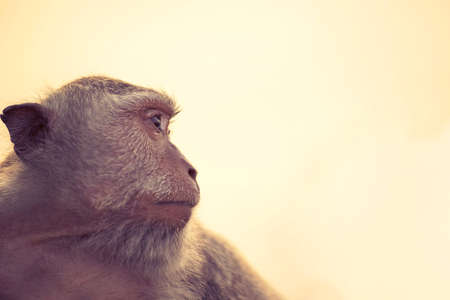 wildlife conservation: Wild monkey face profile portrait looking at distance with sky background. Wildlife conservation and animal rights campaign.
