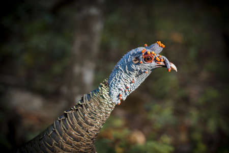 green eyes: Close up of colorful wild exotic turkey, rare species located in central america. Natural habitat forest environment background.