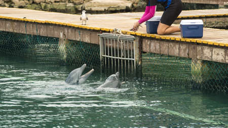 bridge over water: Animal trainer feeding fish to hungry pair of dolphins in bridge over water, summer vacation tropical destination scene.