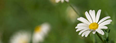 cover background time: Wild daisy flower field on summer time season, close up of white chamomile with soft focus background. Social media cover format. Stock Photo