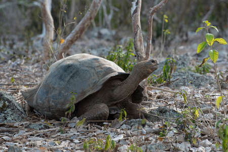 Wild giant tortoise in natural environment on Galapagos island, wildlife conservation scene of endangered turtle species.