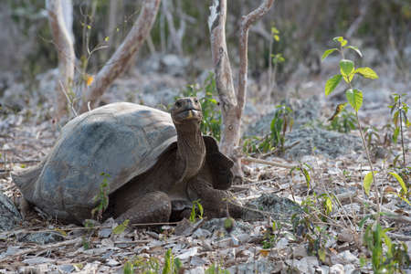 wildlife conservation: Wild giant tortoise in natural environment on Galapagos island, wildlife conservation scene of endangered turtle species.