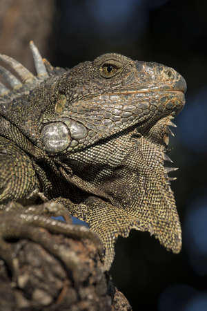 wildlife conservation: Close up shot of wild lizard, iguana resting in natural habitat on galapagos island. Wildlife conservation scene with exotic reptile animal.