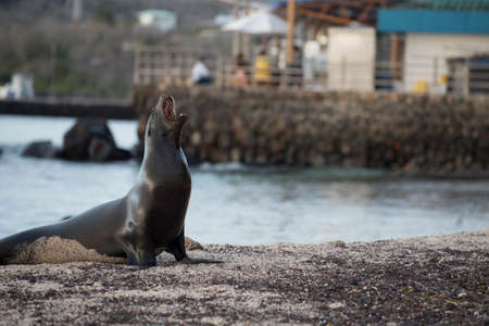 Wild sea lion on fishing pier with blur background, wildlife shot of galapagos island landscape. Stock Photo
