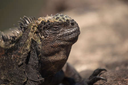 wildlife conservation: Close up shot of wild lizard resting in natural habitat on galapagos island, wildlife conservation nature scene. Stock Photo
