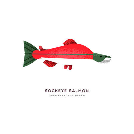 Sockeye salmon animal illustration of red fish on isolated white background. Educational wildlife design with fauna species name label.