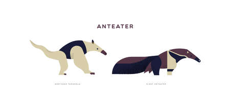 Wild anteater animal illustration on isolated white background. Educational wildlife set with fauna species name label.