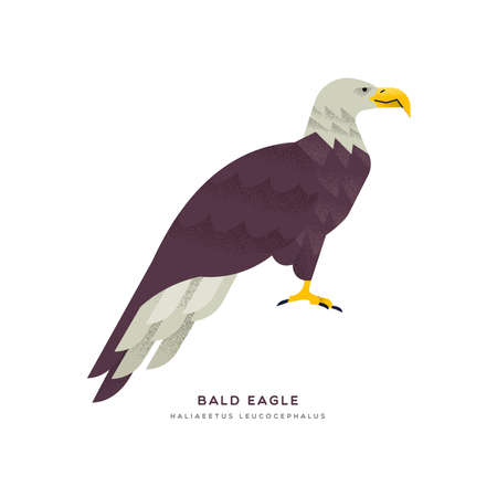 Bald eagle animal illustration on isolated white background. Educational wildlife design with fauna species name label.