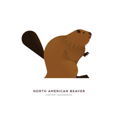 North american beaver animal illustration on isolated white background. Educational wildlife design with fauna species name label. Stock Illustratie