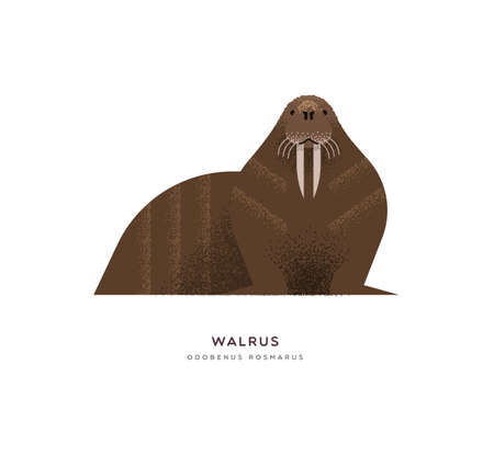 Wild walrus animal illustration on isolated white background. Educational wildlife design with fauna species name label.