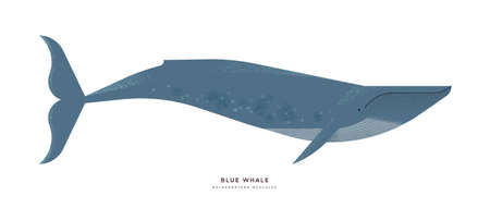 Blue whale illustration on isolated white background, endangered marine animal concept. Educational wildlife design with fauna species name label.