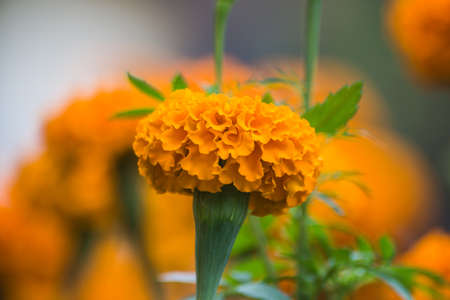 Marigold flower with blur  photo
