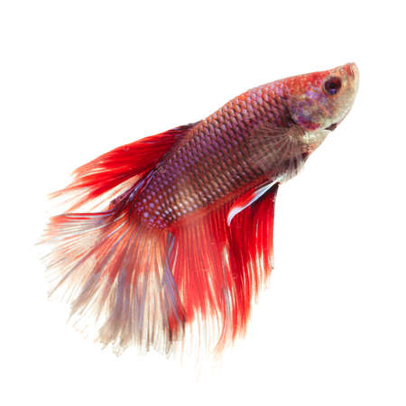 fineart: Siamese fighting fish  isolated on white background.