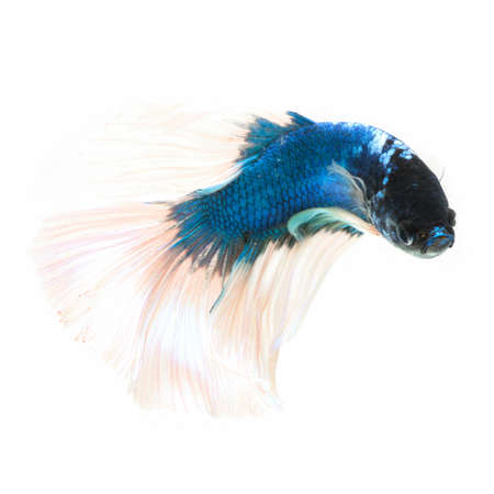 siamese: Siamese fighting fish  isolated on white background.