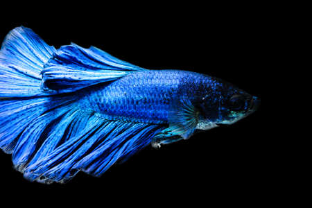 betta: Siamese fighting fish  isolated on black background.