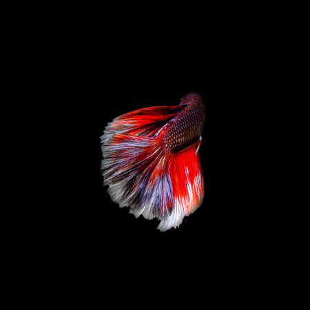 siamese: Siamese fighting fish  isolated on black background.
