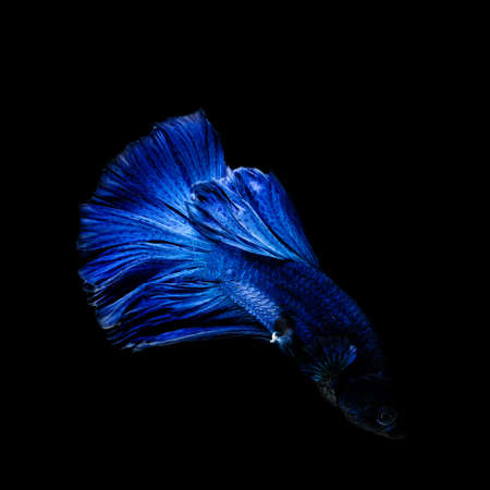 fineart: Siamese fighting fish  isolated on black background.