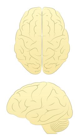 Brain. Line Art Vector of Brain form two angles Illustration