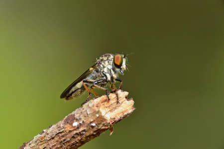 a robber fly Stock Photo